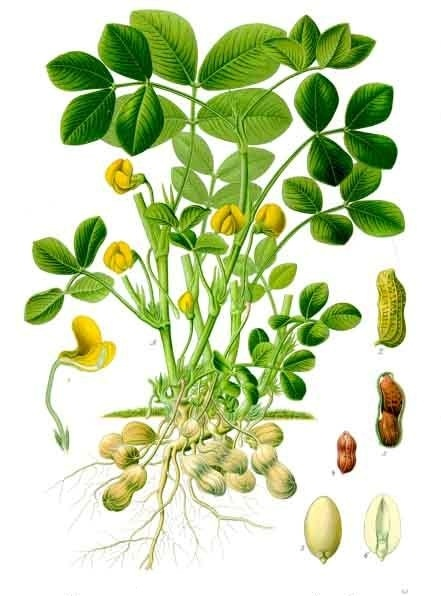 Colored drawing of the roots, stem, and leaves of the peanut plant.