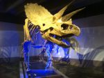 Cliff, the Museum's nearly complete Triceratops skeleton. (Image: Shala Howell)