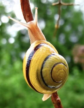 Step away from my boat, buddy. (Photo of a white-lipped snail by Mad Max via Wikipedia)