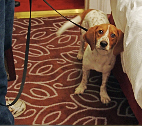 Nothing to see here. (Photo of bed bug detection dog by Elgaard via Wikipedia)