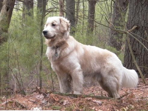 A golden retriever named Tucker (aka Shala's dream dog). (Photo: Edward from Boston, MA)