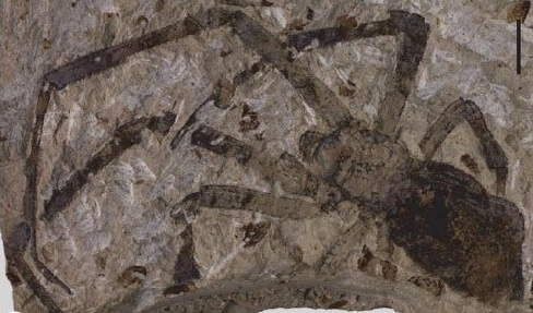 165 million year old fossil of the Nephila jurassica, an orb weaver spider that lived during the Jurassic. (Photo from Selden et al., 2011.)