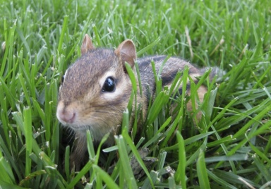 chipmunk in green grass
