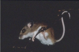 White footed mouse (Photo: US Fish & Wildlife Service)