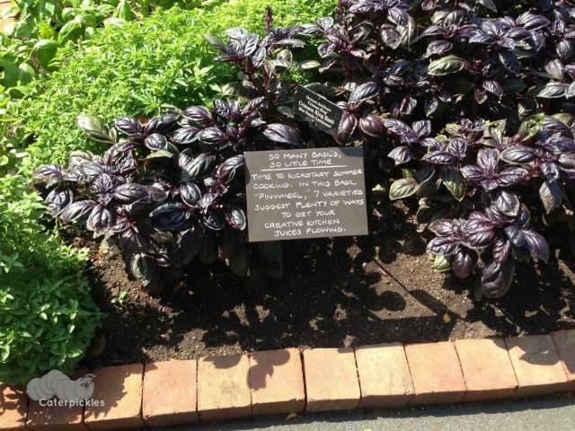 Basil patch at the Chicago Botanical Gardens. (Photo: Shala Howell)