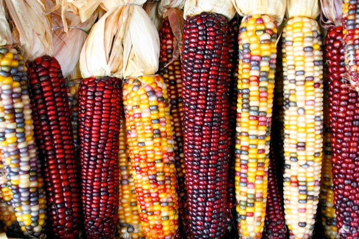 Maize (Photo: Sam Fentress via Wikipedia)