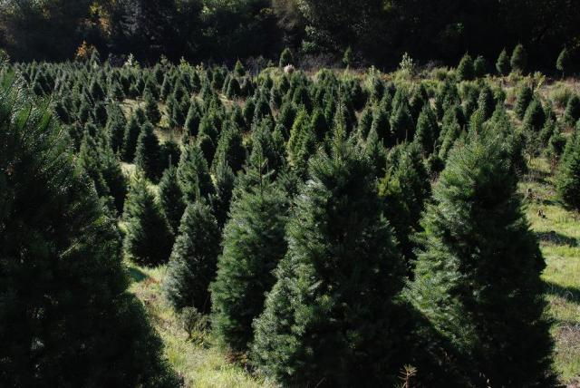 Trees waiting to be claimed at a California Christmas tree farm. (Photo: Castro Valley Christmas Tree Farm)