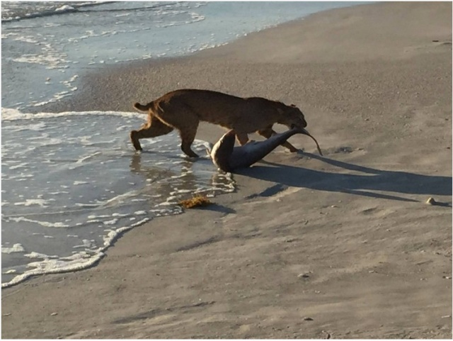 A hungry bobcat catches a small shark near Vero Beach, Florida. (Photo: John Bailey)