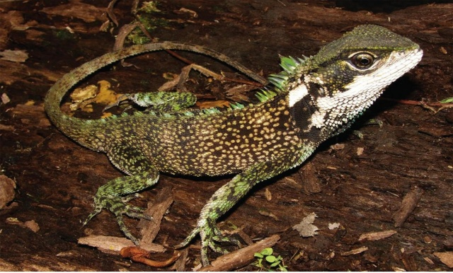 Although we just got word on this new dragon species this week, this particular dragon lizard Enyalioides altotambo was actually discovered in 2005. (Photo: Pablo Venegas)