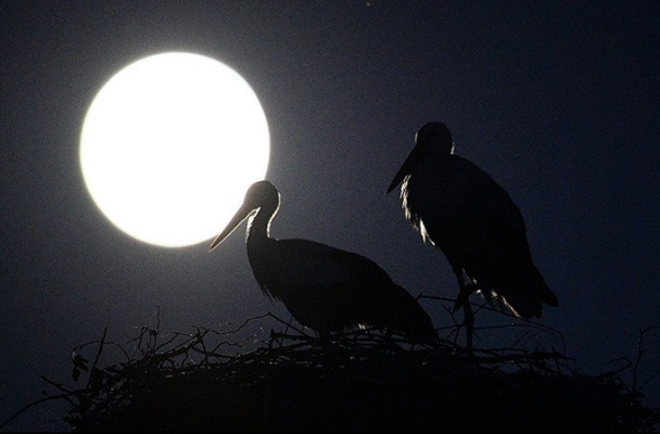 Two waterbirds at night in front of an enormous full moon