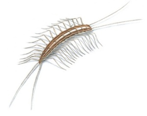 Centipede via the Orkin website