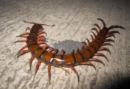 Scolopendra gigantea, aka the giant centipede who eats bats. Man, I want to run just looking at this picture. (Photo by Katka Nemčoková via Wikipedia)