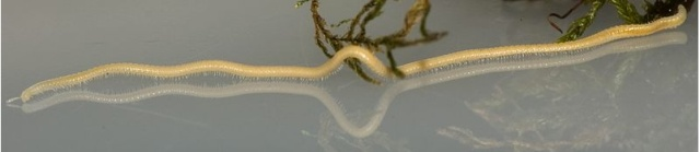 A female Illacme millipede with 618 legs. (Photo: Marek, P.; Shear, W.; Bond, J. [2012] via Creative Commons/Wikipedia)