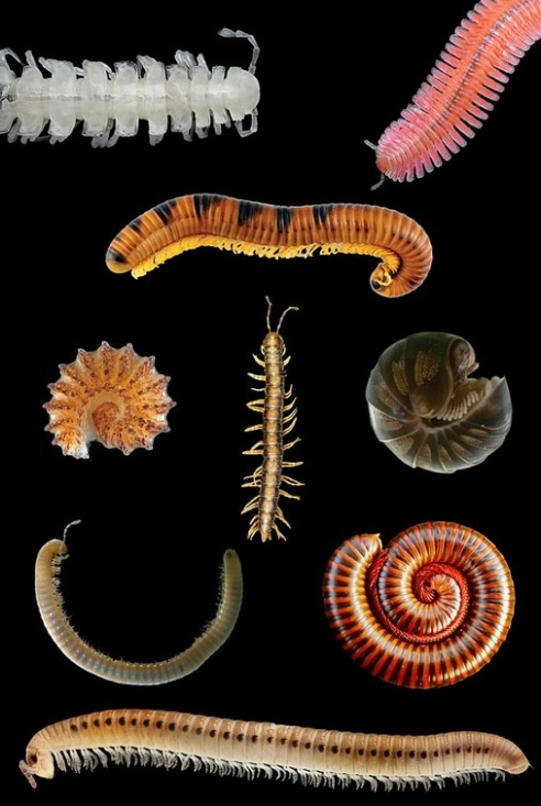 An assortment of millipedes. Thankfully, not to scale. (Photo by Animalparty via Wikipedia)