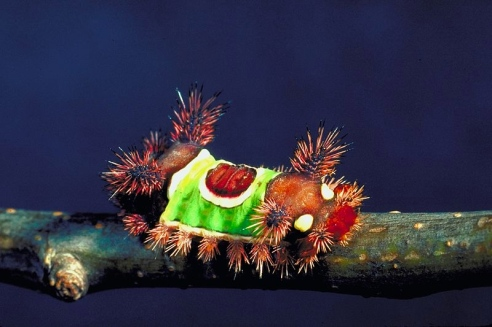 Saddleback caterpillar (Photo: Gerald J Lenhard, Louisiana State University)