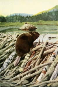 Illustration of a beaver from The Burgess Animal Book for Children. (Art: Louis Agassiz Fuertes, 1920.)