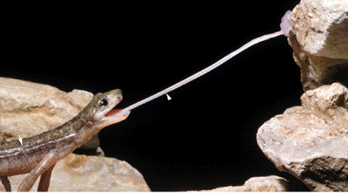 In this image of a salamander catching a fly from the journal Nature, the salamander's tongue appears almost impossibly long. Yet, the authors assure me, it's not even fully extended. (Photo: