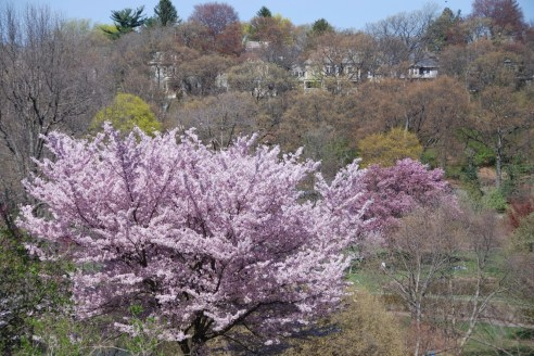 Arnold Arboretum, May 2008 (Photo: Michael Howell)