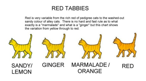 "The chart reads ""Red Tabbies: Red is very variable from the rich red of pedigree cats to the washed out sandy colour of alley cats. There is no hard and fast rule as to what exactly is a marmalade and what is a ginger but this chart shows the variation from yellow through red."" Categories: Sandy/Lemon, Ginger, Marmalade/Orange, Red"