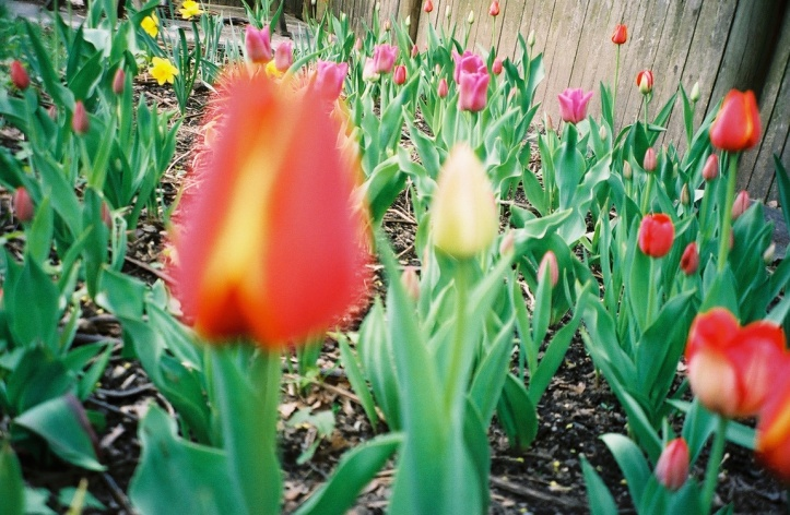 More flowers from our Spring 2004 garden. (Photo: Michael Howell)