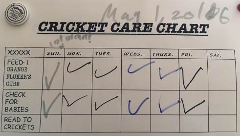 The Nine-Year-Old's Cricket Care chart, which she has posted to our fridge. Interestingly, it doesn't look like The Nine-Year-Old has been making time to read to her crickets. (Care chart: The Nine-Year-Old Howell)