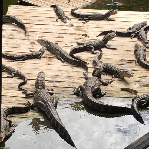 About a dozen alligators of various sizes on a boardwalk somewhere in Florida.