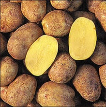Worth their weight in gold? (Photo of Yukon Gold potatoes from the University of Guelph)