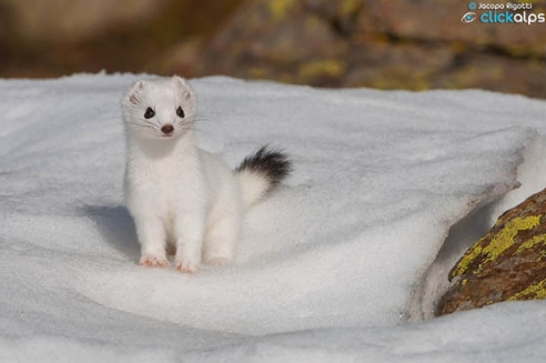 Ermine in winter. (Photo: Jacopo Rigotti)