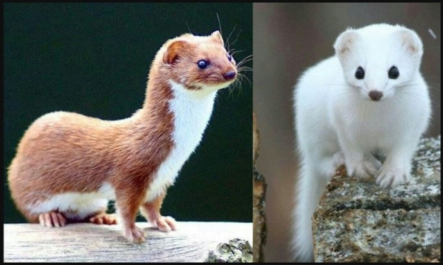 The least weasel's brown summer coat turns white in winter. (Photo: Mrs_Holman_7 on Reddit)