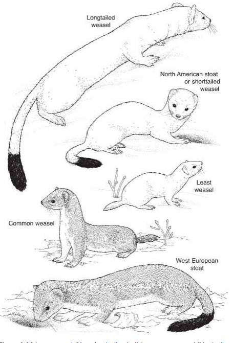 Five types of weasels common to North America and Europe. Drawings is to scale. (Source: Ecology Center)