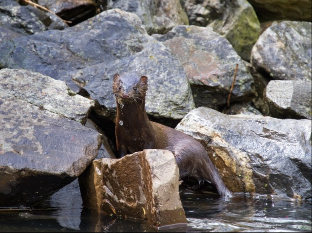 An American mink emerges from a pond near Portland, Oregon. (Photo: Chuck Holmer via Wikipedia)