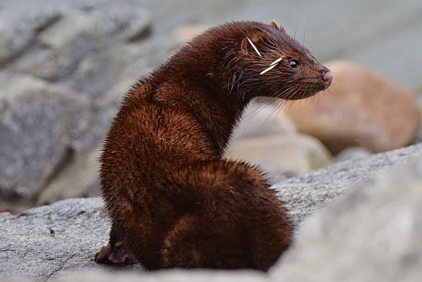 The photo shows a brown mink in a rocky landscape. The quills are stuck between its eye and ear.