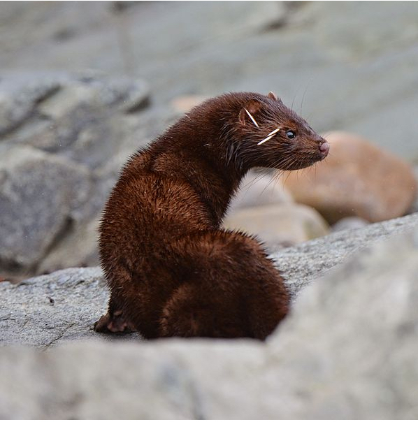 An American mink with porcupine quills stuck in its face. As you can see, minks are aggressive hunters who will attack animals larger than themselves. (Photo: Gouldingken via Wikipedia)