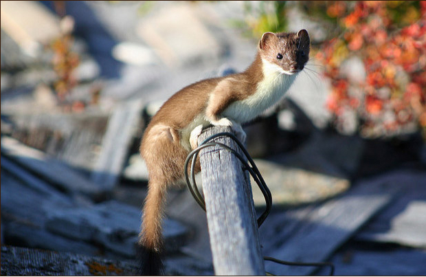 Least weasel. (Photo via Nature Conservancy)
