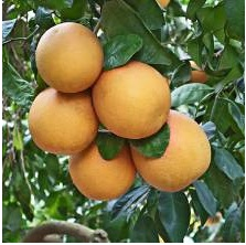 cluster of grapefruit on a tree.