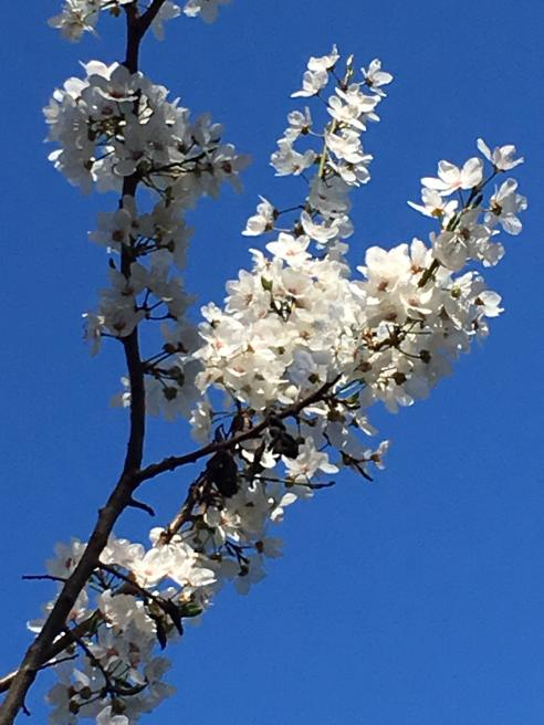 Flowering tree against a dark blue sky