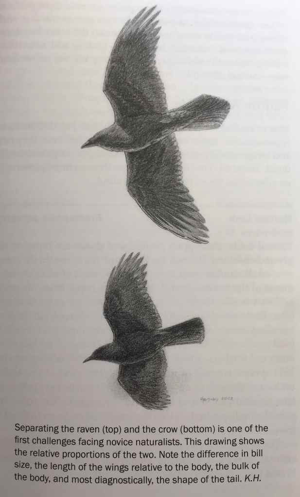 Illustration showing the difference between a raven (top) and a crow (bottom). Artist: Keith Hansen. Source: Birds of the Northern California Coast.