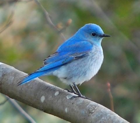 The Mountain Bluebird of Nevada has a lovely pale blue head, wings, and back and a pale greyish blue belly. His eyes, beak, and feet are black, and there are black feathers on his wingtips.