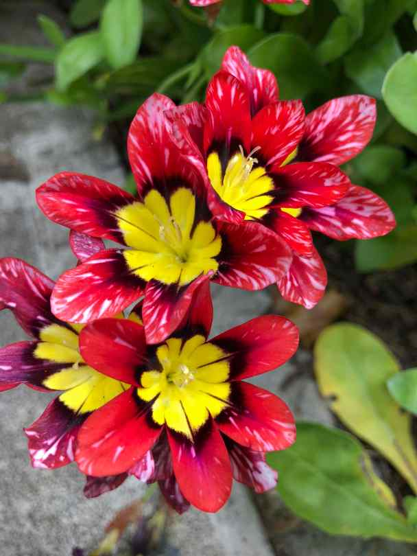Red flowers with yellow centers.
