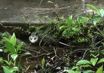 A baby opossum huddles by the sidewalk in our garden.