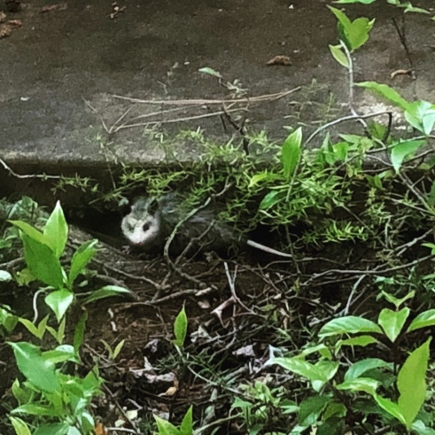 baby opossum in the garden by the sidewalk