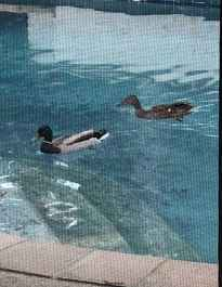 Two ducks swimming in a backyard pool.