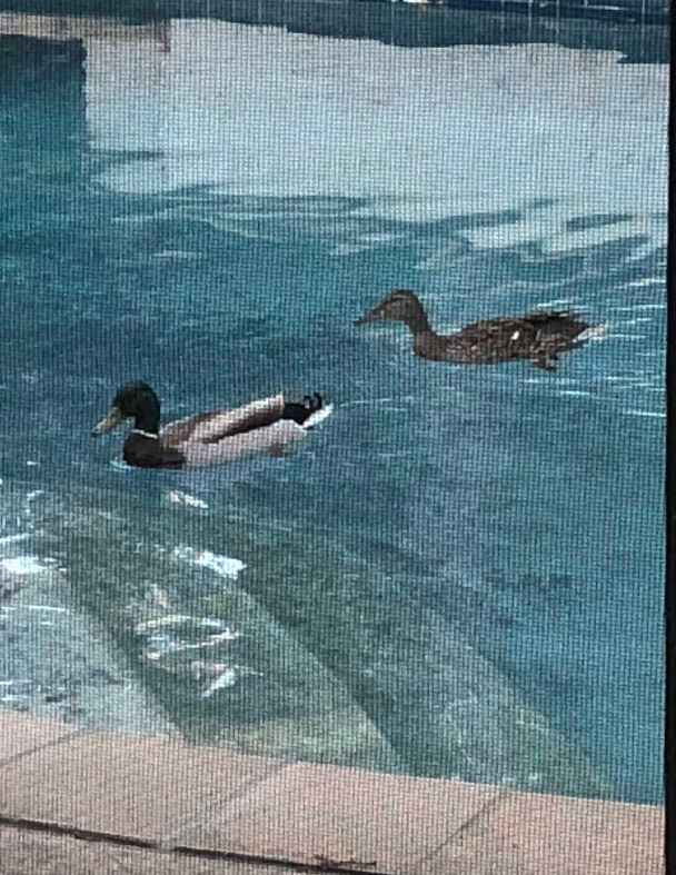 Two ducks swimming in a backyard pool.