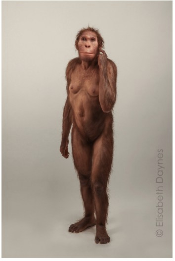 Artist's rendering of the Australopithecus sediba shows a hominid standing upright, covered in fur, with a stocky body, and a face with broad cheekbones, a low forehead, and quite a broad jaw.