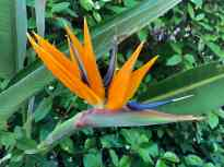 The bird of paradise flower has tall spiky orange petals and a blue poky thing. (Sorry, not a botanist)