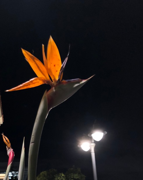 A bird of paradise flower against a black night sky. It really does look like someone crafted a crane's head out of flower petals.