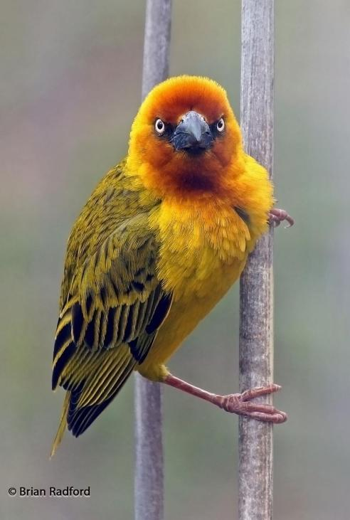 The Cape Weaver is a bright yellow bird with black stripes on the tips of his wings and a flare of red around his eyes and beak.