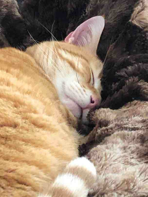 A sleeping orange tabby curled up in a furry brown blanket.