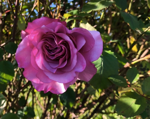 This dark pink rose has lots of short, round petals.