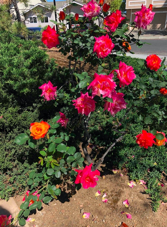 Rose bush with mostly dark pink flowers, and one or two orange ones.